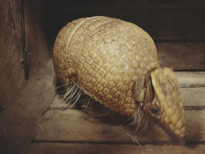 southern three banded armadillo