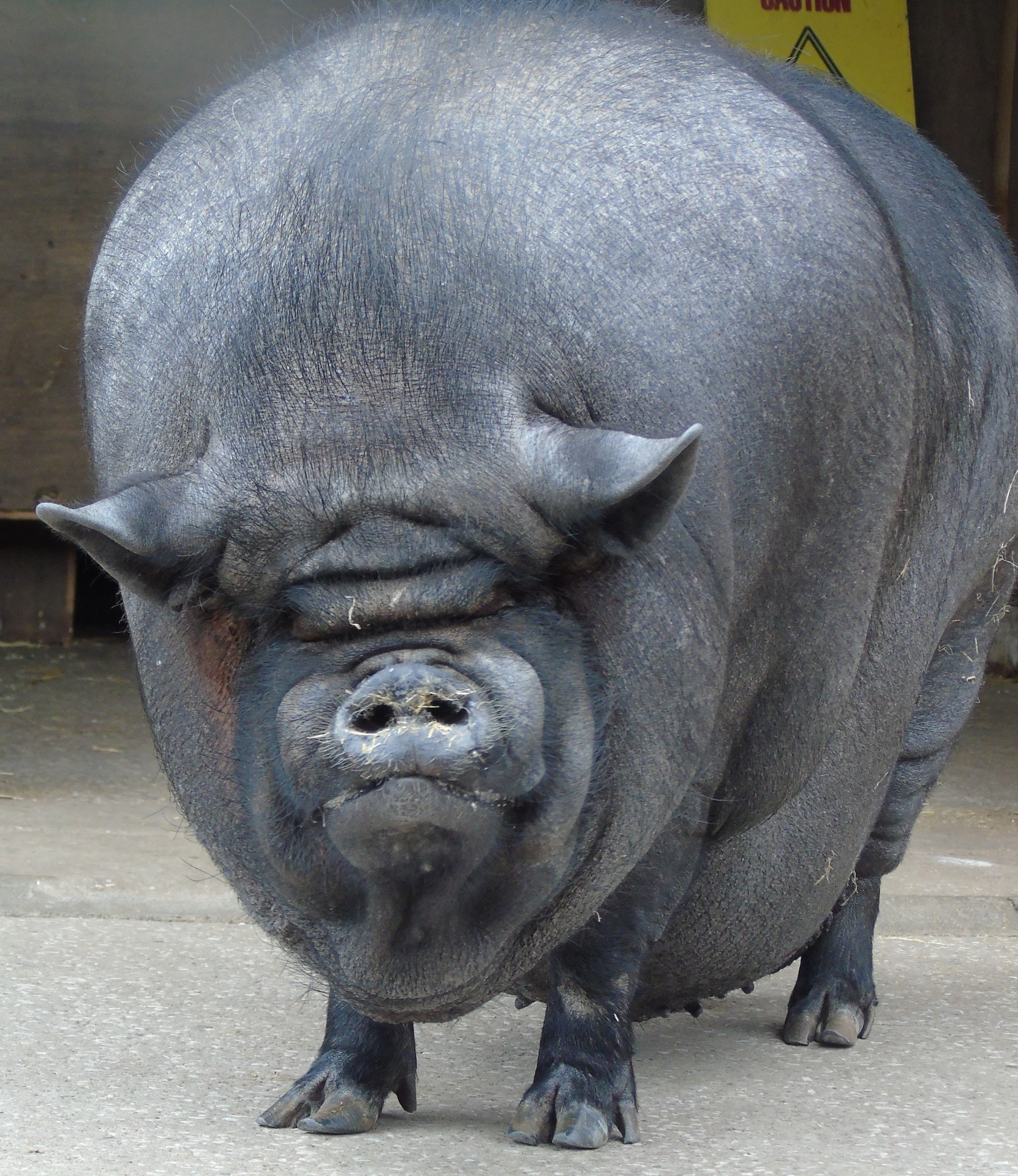 old english pot bellied pig