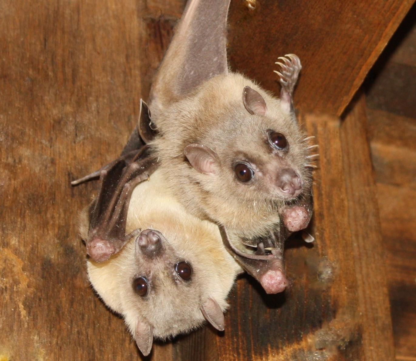 egyptian fruit bats