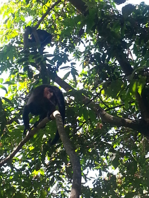Monkey in tree outside our balcony