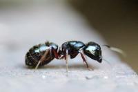 ant, ants