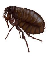 flea, fleas