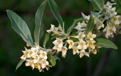 Autumn-olive