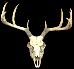 HD37268 Weathered Glory Deer Skull