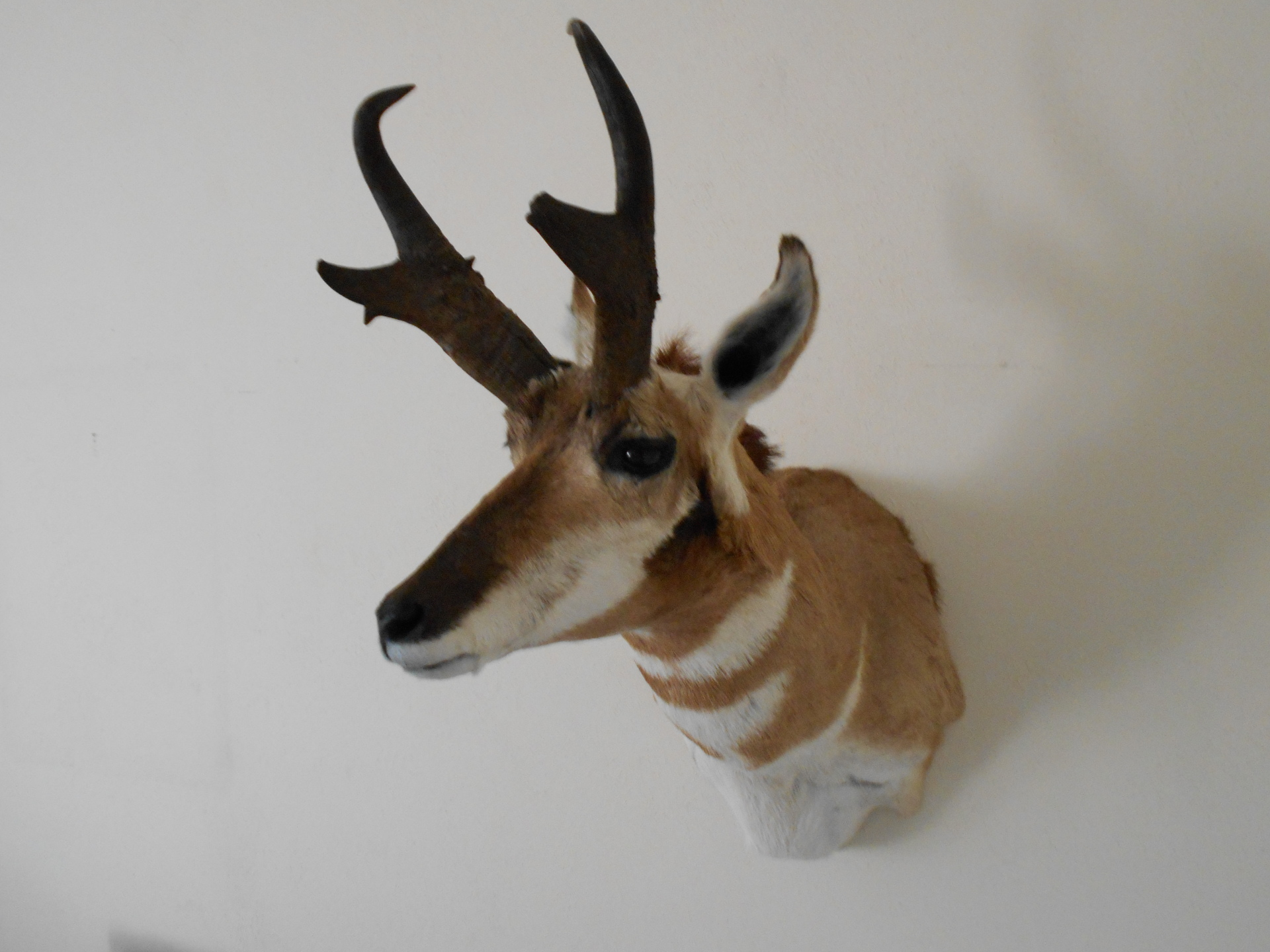 Pronghorn, Golden, Taxidermy, Taxidermist