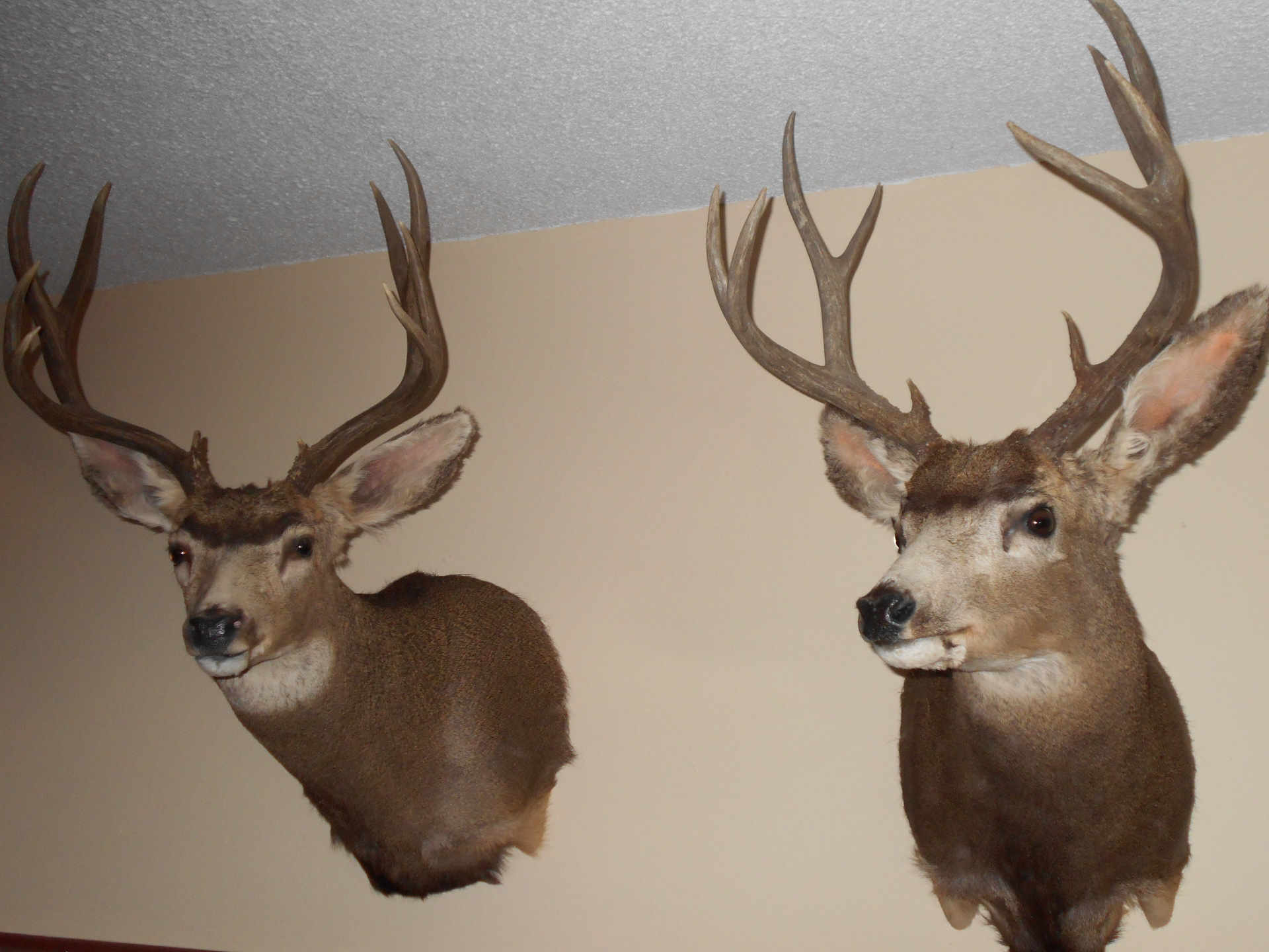 Golden Ridge Taxidermy, Taxidermy, Deer, Mount, Deer Mount, Taxidermist