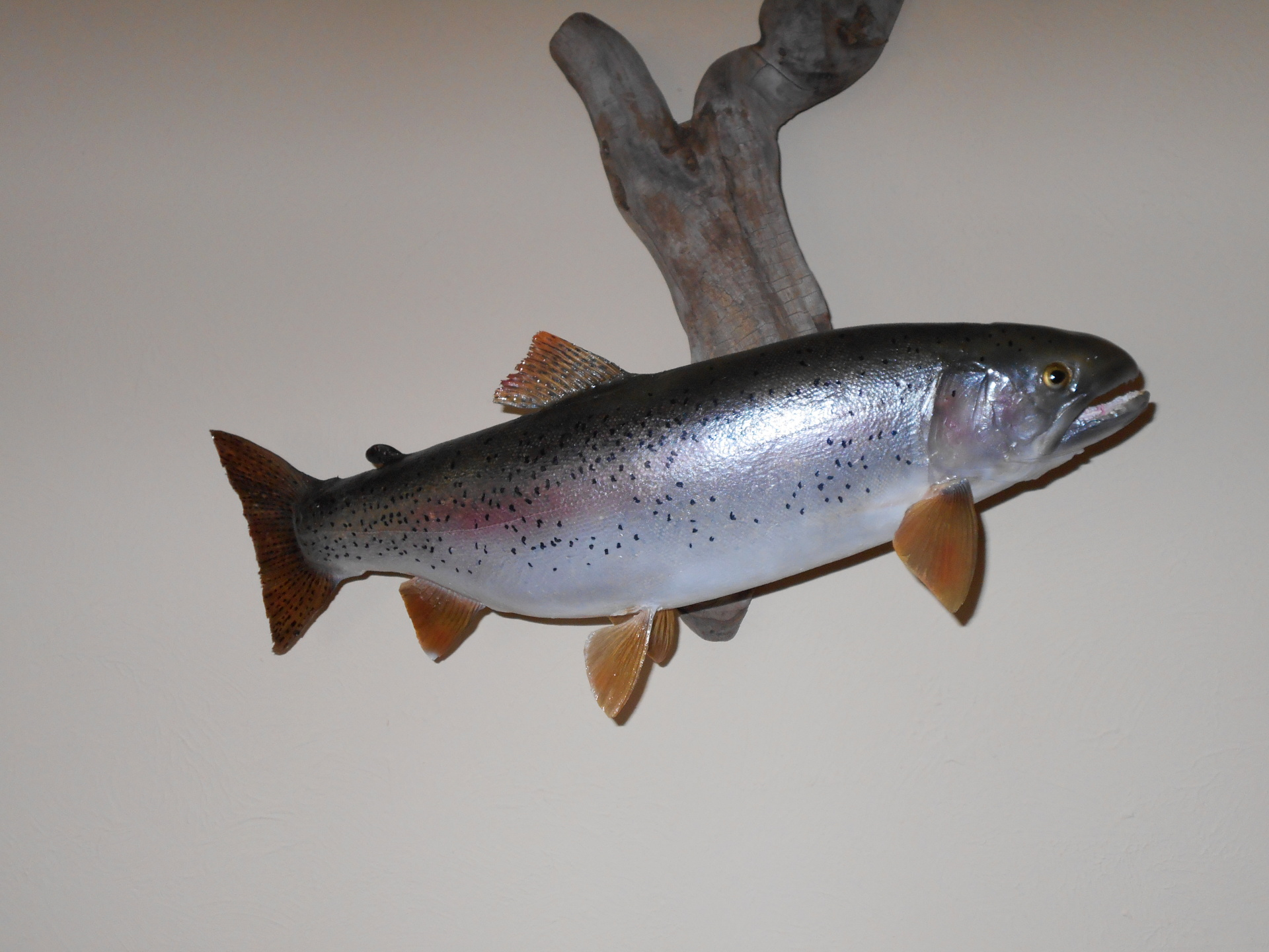 Golden Ridge Taxidermy, Taxidermy, Fish, Rainbow Trout, Taxidermist
