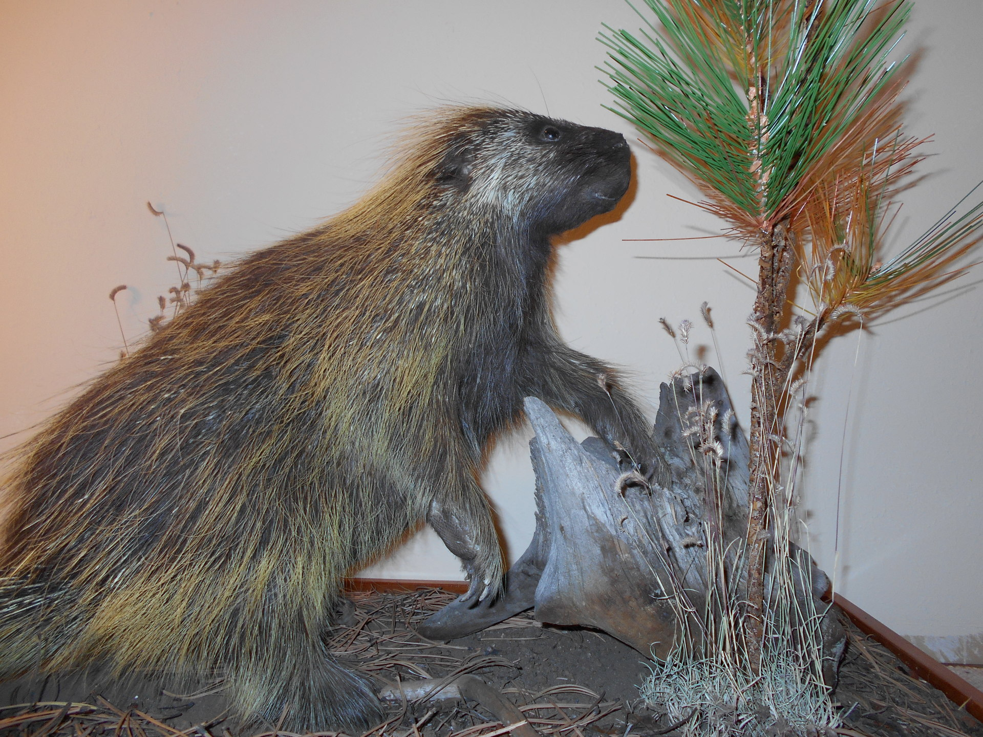 Golden Ridge Taxidermy, Taxidermy, Porcupine, Hunting, Taxidermist