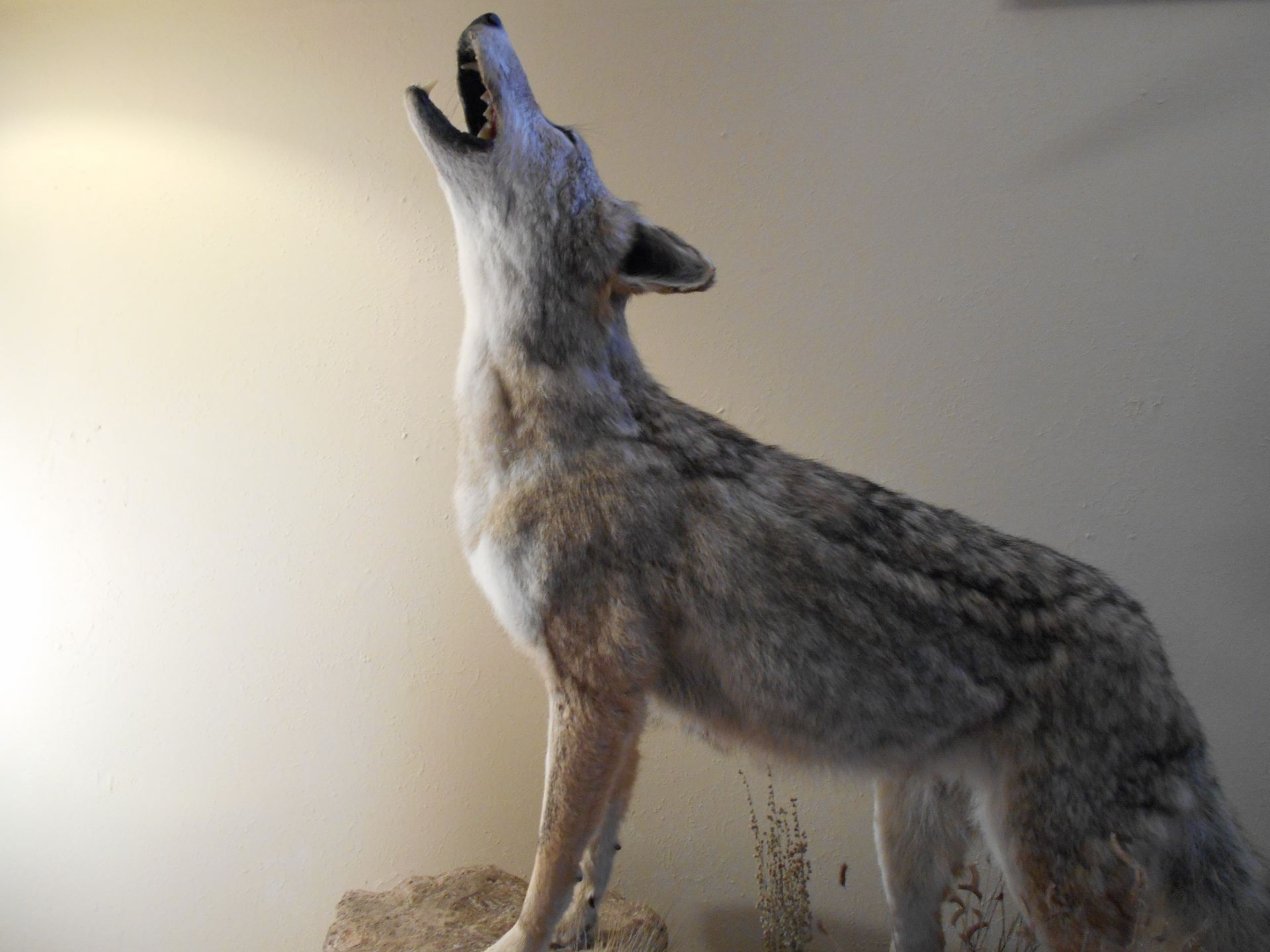 Golden Ridge Taxidermy, Taxidermy, Hunting, Coyote, Taxidermist
