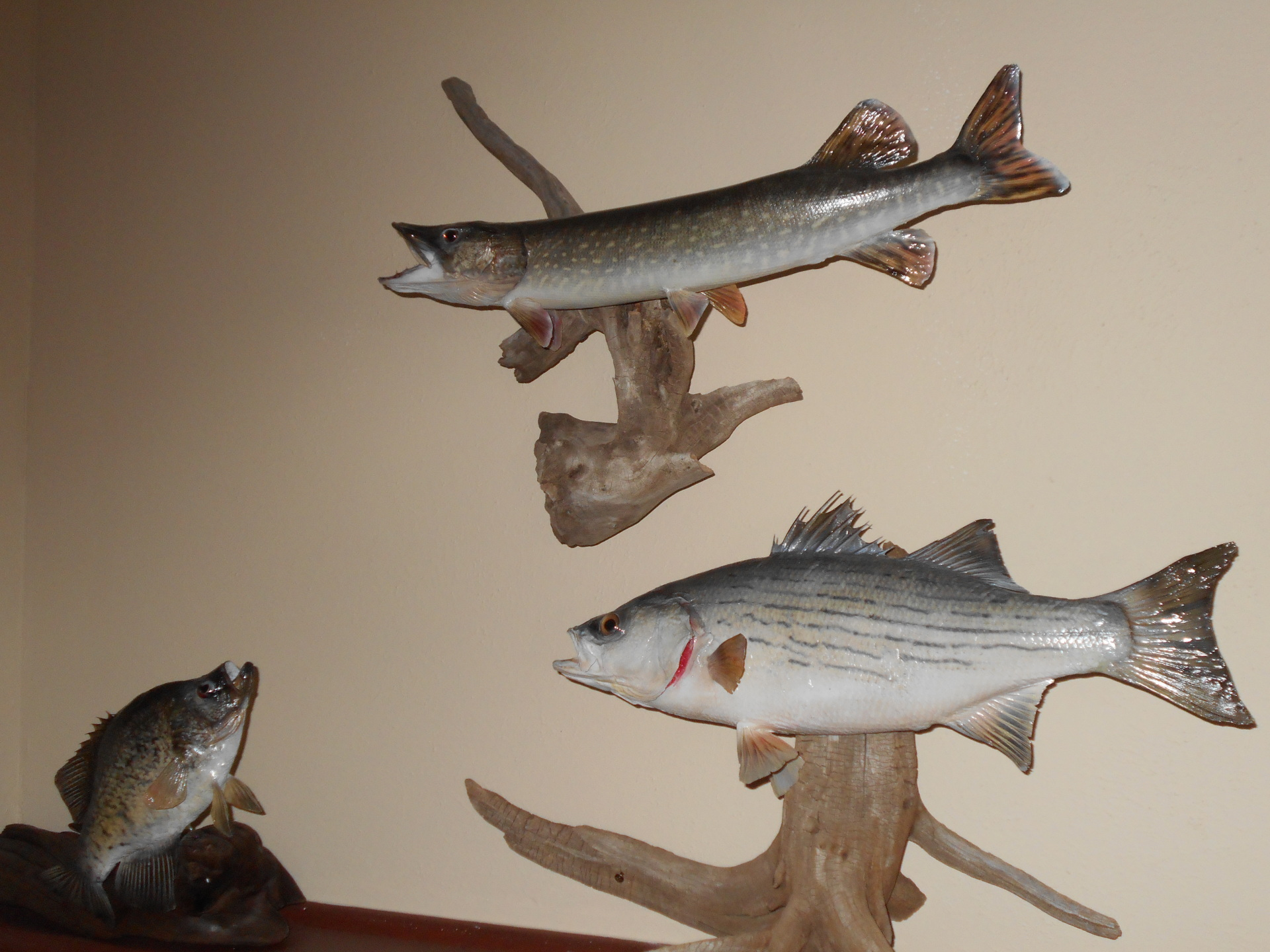 Golden Ridge Taxidermy, Taxidermy, Fish Replica, Fish, Taxidermist