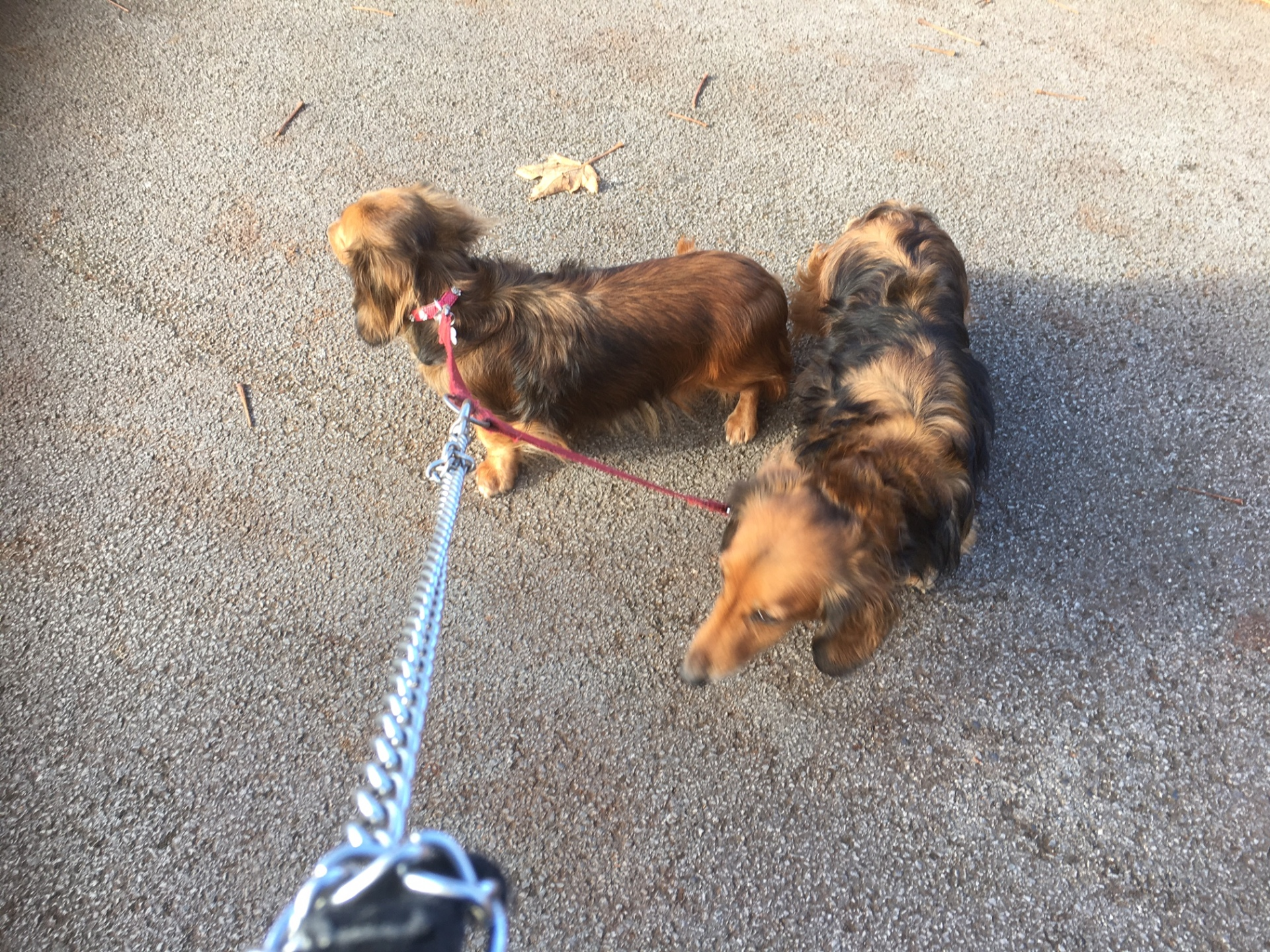 So happy that these two have finally accepted me and are enjoying their walks