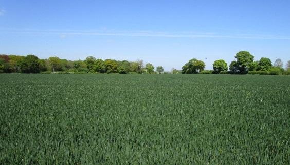 Crown Point Estate corn field