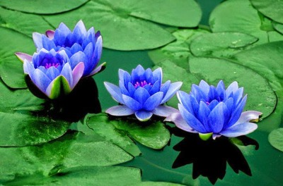 Se como la flor de Loto: renace cada dia