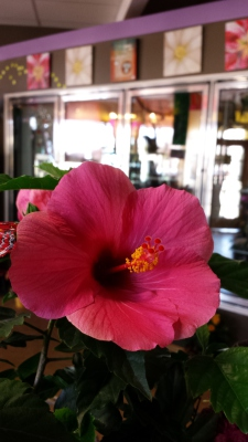 hibiscus, plant, happy, cheerful, lumsden, regina, craven, regina beach, buena vista