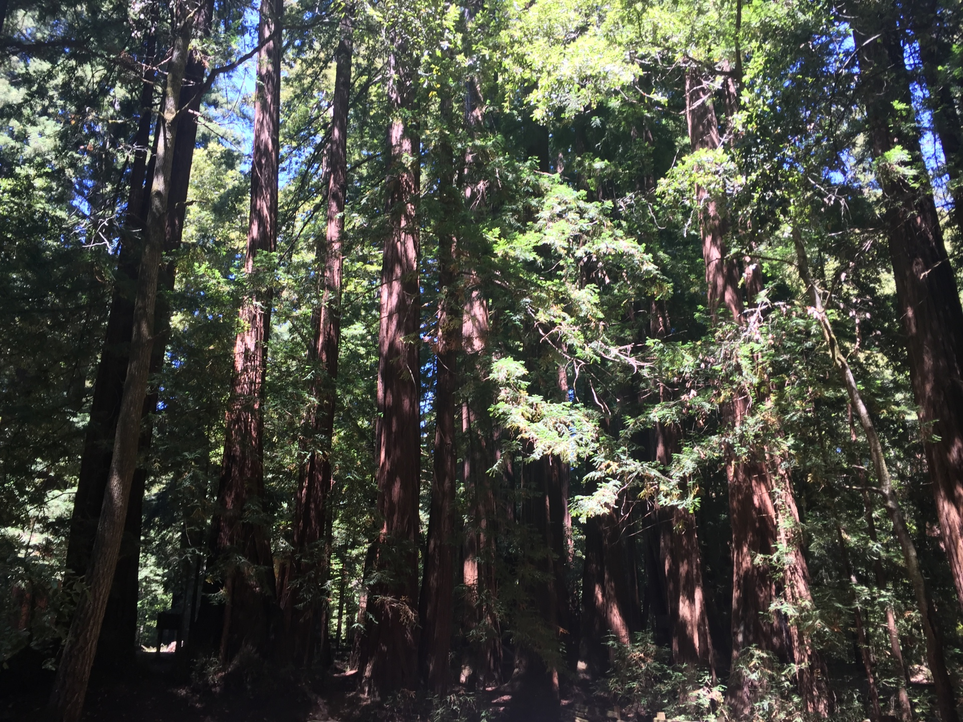 My Lovely Redwoods