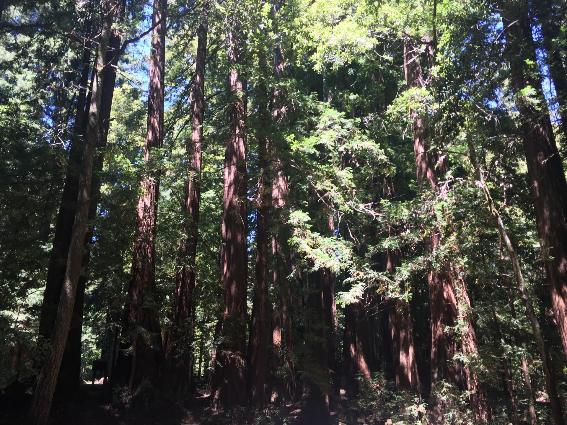 My Lovely Redwoods