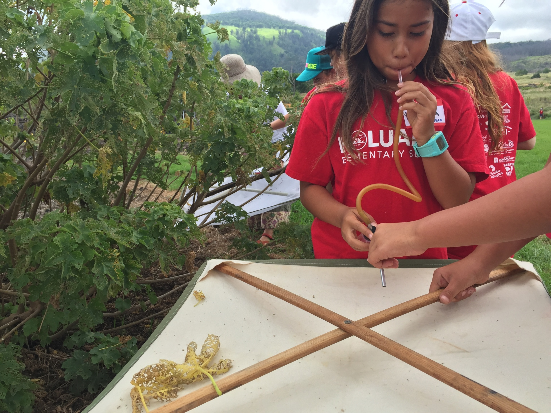 Teaching Change Program Puuwaawaa Puʻu Waʻawaʻa insects aspirator