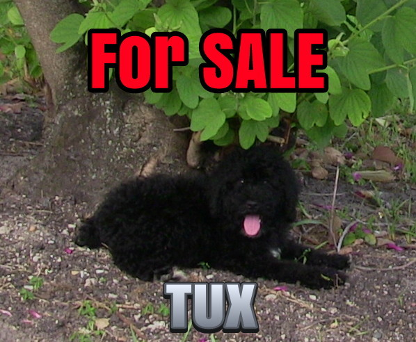 Dog for sale, trained dog for sale, labradoodle for sale, fully trained labradoodle for sale, black lab for sale, black lobradoodle for sale, puppy for sale, fully trained puppy for sale, dog training, miami dog whisperer, dog for sale in Miami, fully trained dog, service dog for sale, hypoallergenic dog for sale, Richard Heinz, best dog trainer, best dog training, fully trained Golden Retriever, Golden Retriever, fully trained dog for sale, fully trained golden retriever, puppy for sale, Labradoodle, pure bread golden retriever, pure labradoodle, cute puppy for sale, puppy available for Christmas, Christmas puppy