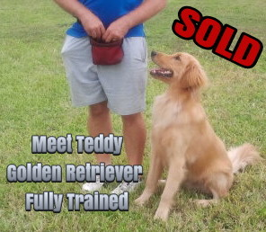 dogs for sale, trained dog for sale, golden retrievers for sale, trained golden retrievers for sale, German Shepherd for sale, trained German Shepherd for sale, fully trained dogs, fully trained puppies, Labradoodle for sale, Trained Labradoodle for sale, Richard Heinz, The Miami Dog Whisperer, Dog Force 1, Dog Training, Trained Puppies for sale, Golden Retriever Puppy for sale, German Shepherd puppy for sale, Golden Retriever puppy, German Shepherd puppy, fully trained puppy for sale, potty trained puppy for sale, puppy for sale, Labradoodle puppy for sale, protection trained dog for sale, guard dog for sale, GSD for sale,fully trained GSD for sale, Labrador Retriever for sale, Labrador Retriever puppy for sale, Fully trained Labrador Retriever for sale, hunting dog for sale, fully trained hunting dog for sale, hunting dog, hunting retriever, trained hunting retriever, service dog for sale, certified service dog for sale, AKC dogs for sale, AKC certified dogs for sale, service dog, affordable service dog, companion dogs for sale, emotional support dogs for sale, service dog certification, best dog for sale, trained dogs available, puppies available