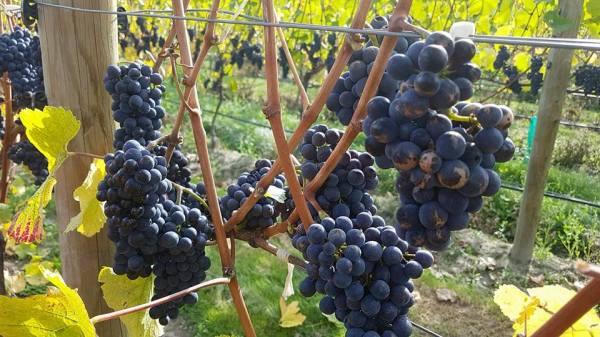 Stewart Town Vineyeard, Cromwell, New Zealand Wine, Export Wine, Central Otago, Queenstown,Vineyard, Weddings, Corporate