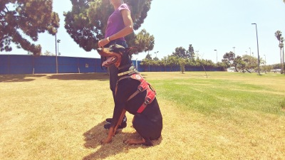 Sergeant the Doberman - On and Off Leash trained