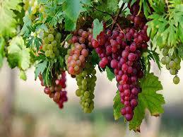 Manfaat Buah Anggur Sebagai Kesehatan Mata