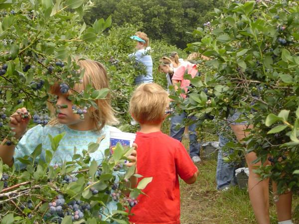 Blueberry Festival - Tammens Tree Farm