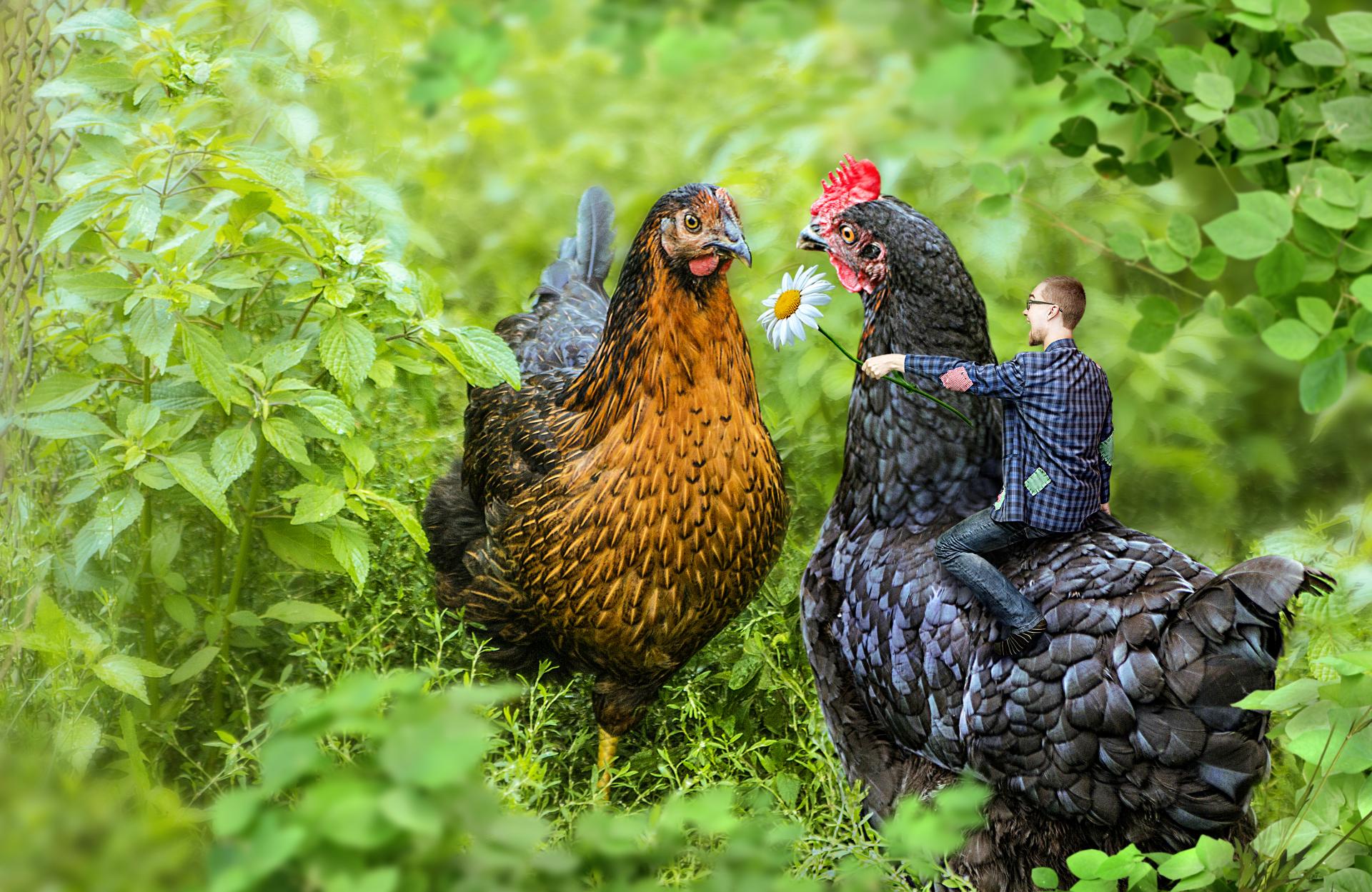 Chicken Joust