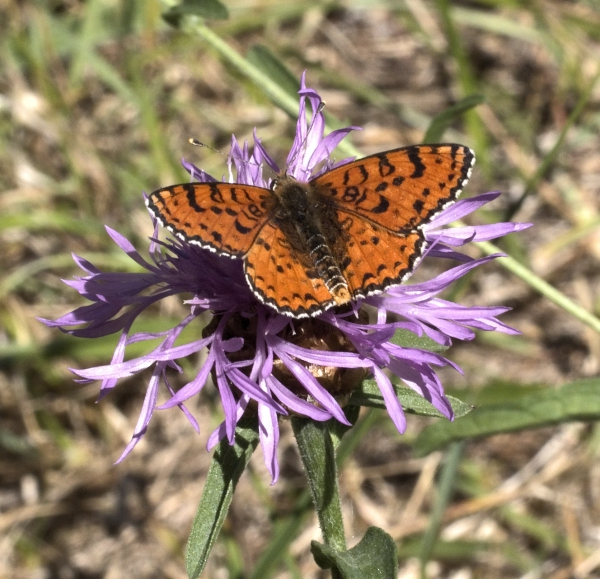 Macro photograph of Spotted Fritillary shot in Penne, Tarn, France