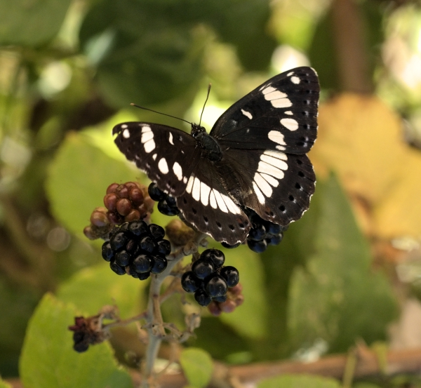 Macro photograph of Souther White Admiral shot in Penne, Tarn, France