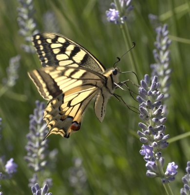 The day of the Swallowtails