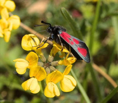 Macro photograph of Six Spot Burnet moth shot in Penne, Tarn, France