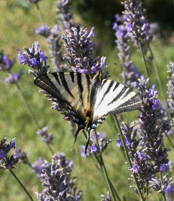 Macro photograph of Scarce Swallowtail butterfly shot in Penne, Tarn, France