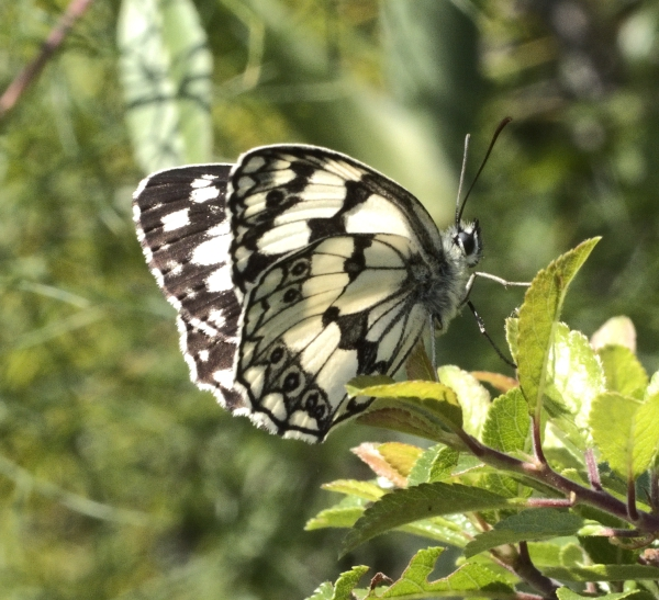 Macro photograph of Marbled White shot in Penne, Tarn, France
