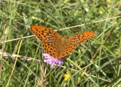 Macro photograph of Silver-washed Fritillary butterfly shot in Penne, Tarn, France