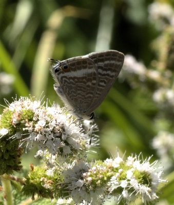 In search of the Long-tailed Blue