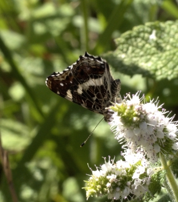 The Map Butterfly - absent from Southern France (not)