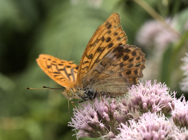 The Silver-washed and other Fritillaries of Penne