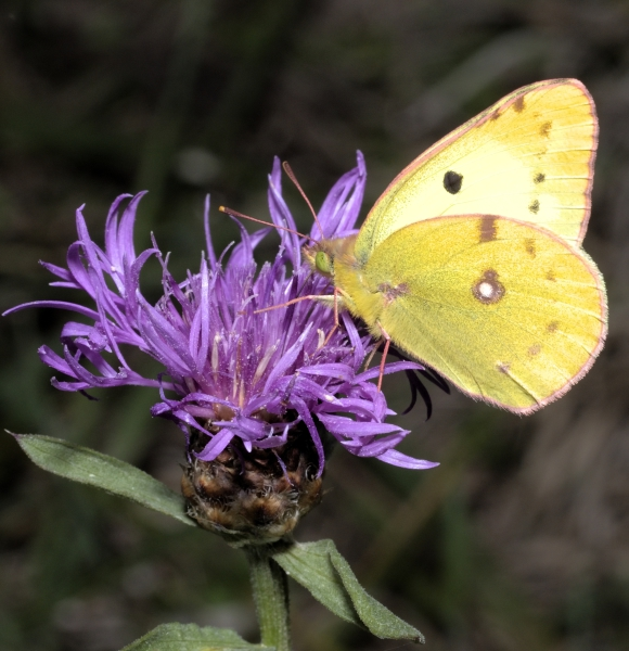 The days of the Clouded Yellow - trying to unravel a butterfly puzzle
