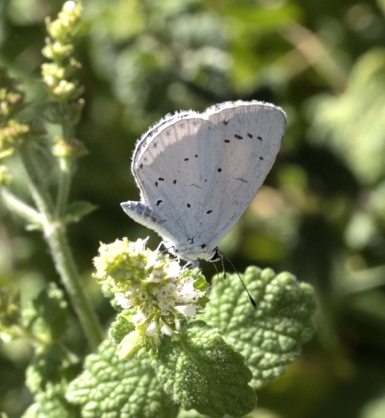 The Holly Blue
