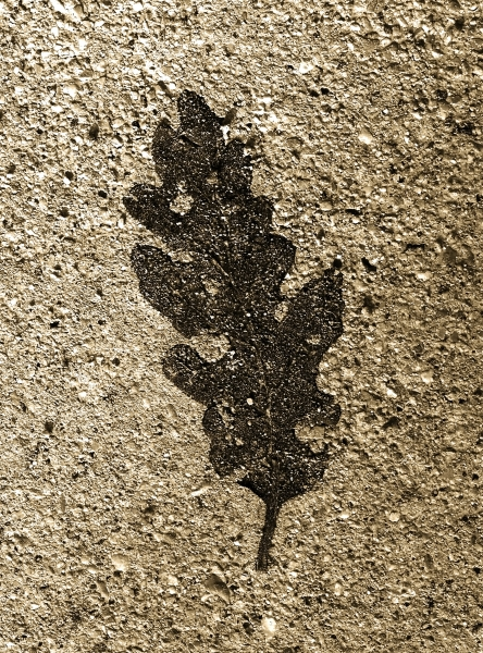 A winter oak leaf embossed into the road