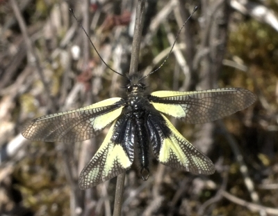 The Weirdness of the Owly Sulphur, Yet More Fritillaries and Swallowtails