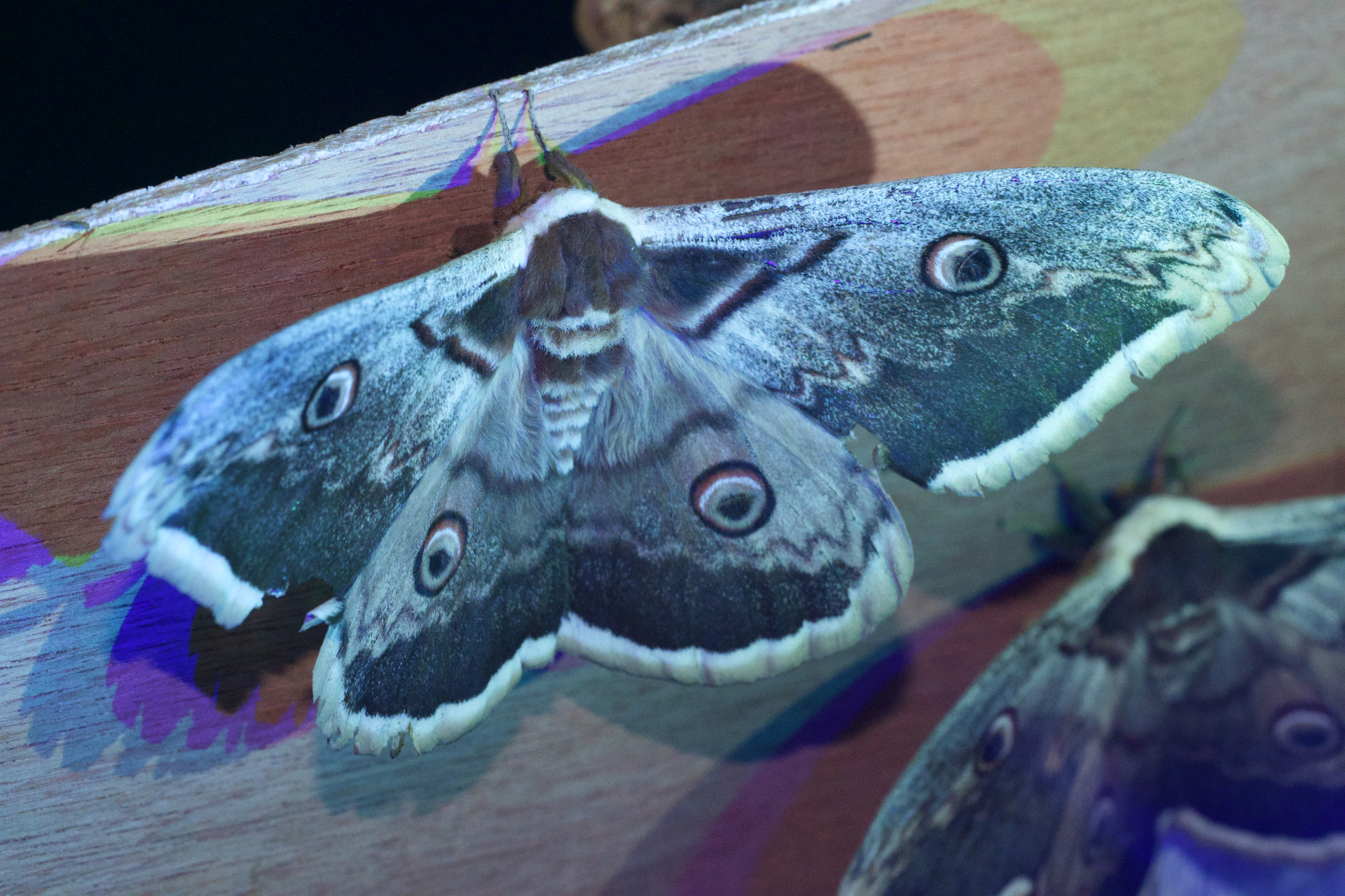 The Giant Peacock Moth