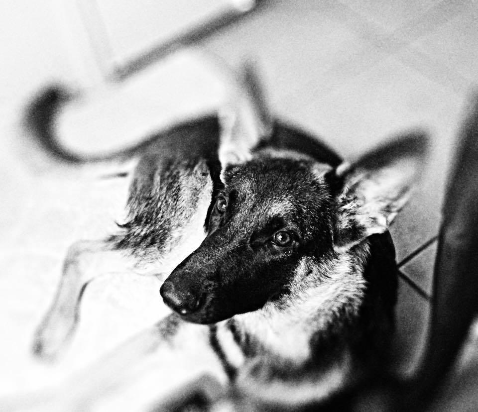 German Shepard Dog Trainer