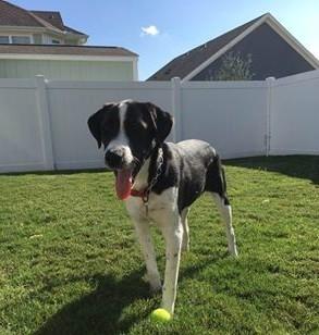English Bulldog, Dog Trainer
