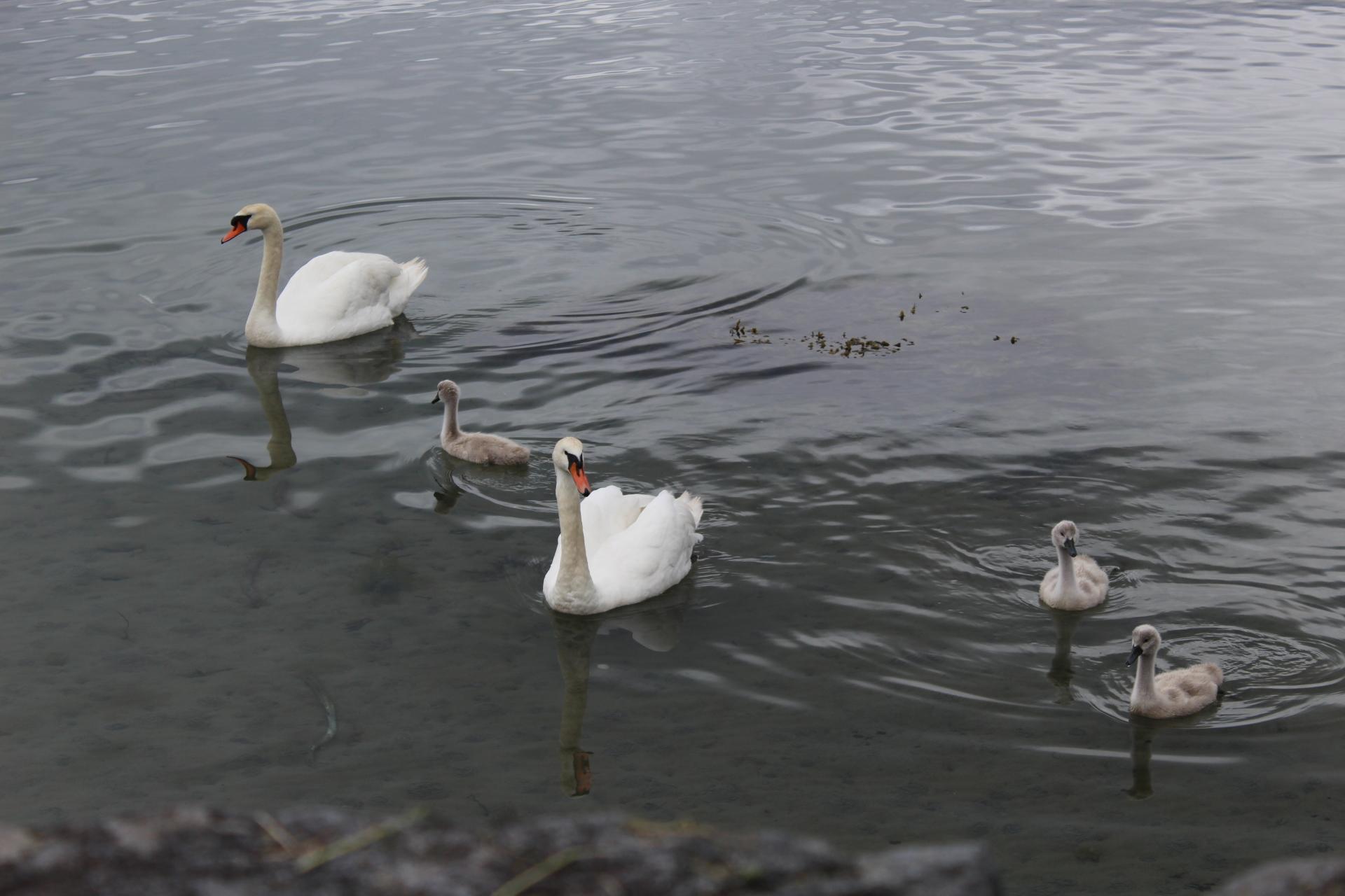Swans on Jura!