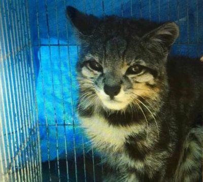Gato andino custodiado en el zoo de La Paz será liberado en el parque Sajama