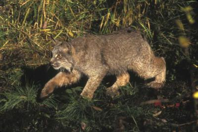 Expanded U.S. habitat protection ordered for rare lynx
