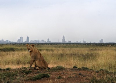 The lions of Nairobi National Park are escaping to the suburbs
