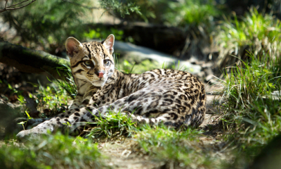 Feds Release Plan to Save Ocelot in Arizona, Texas